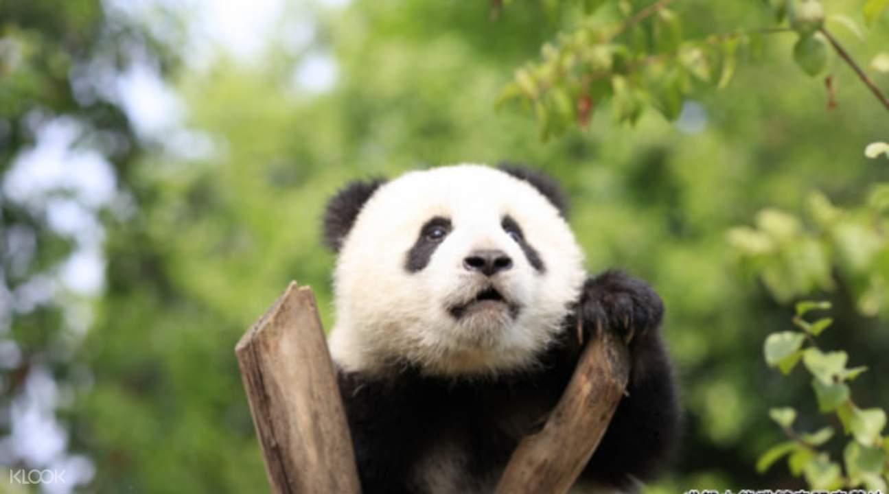 可爱的熊猫宝宝攀爬於树枝上